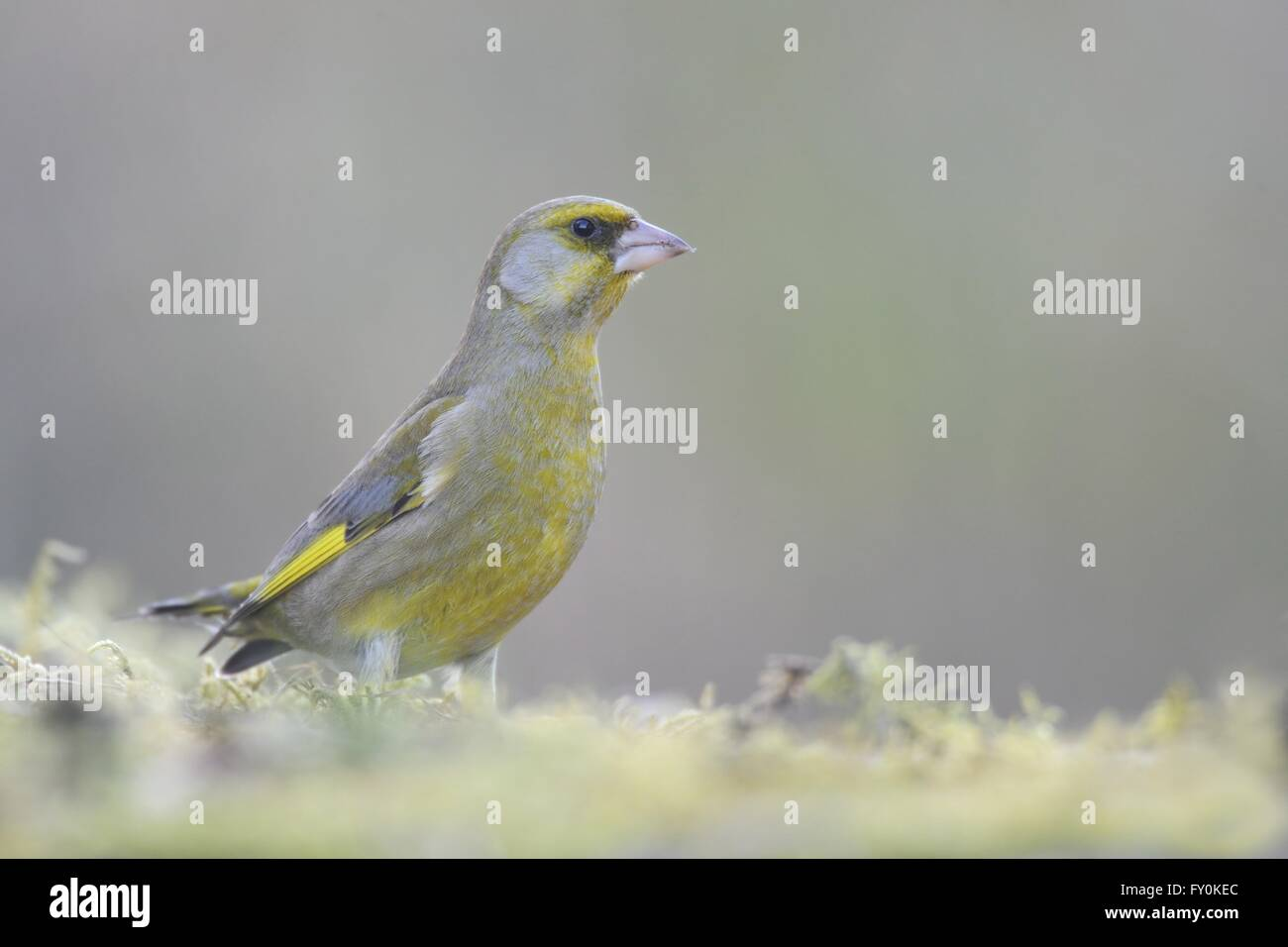 European greenfinch - Stock Image