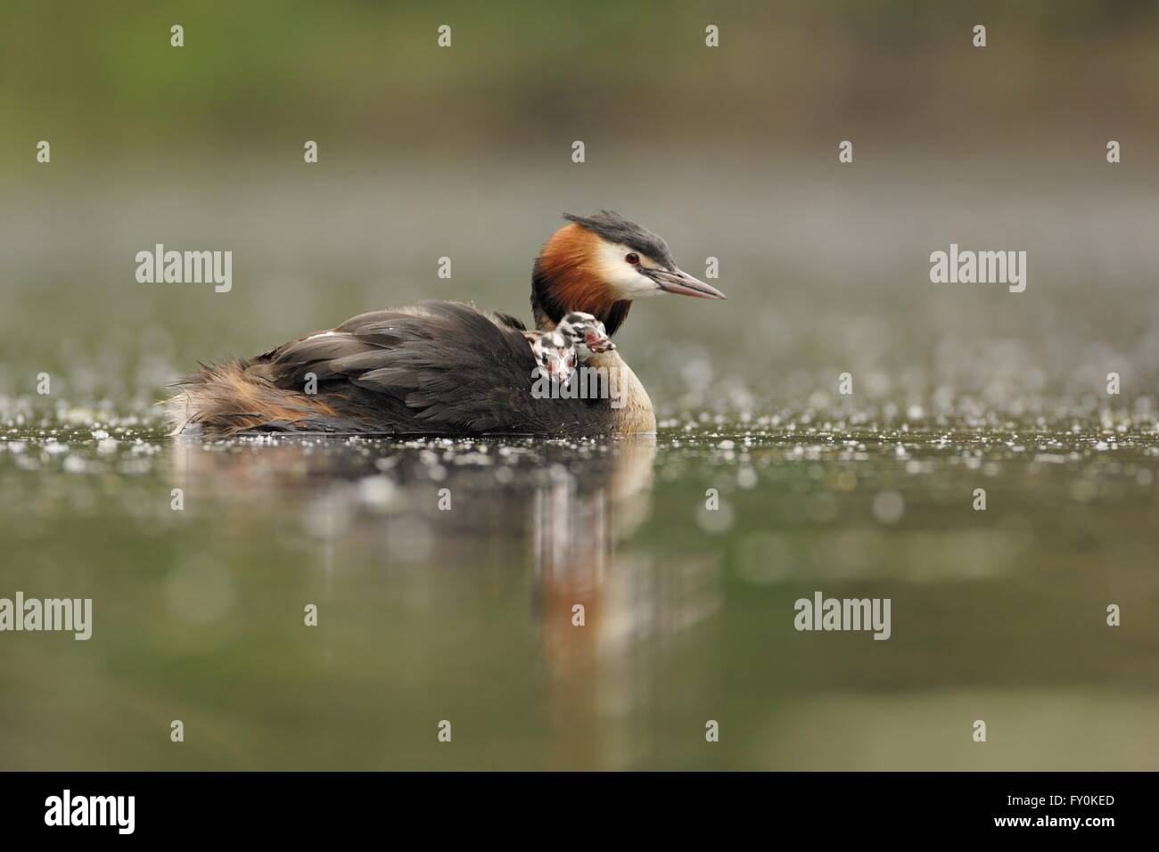 great crested grebes - Stock Image