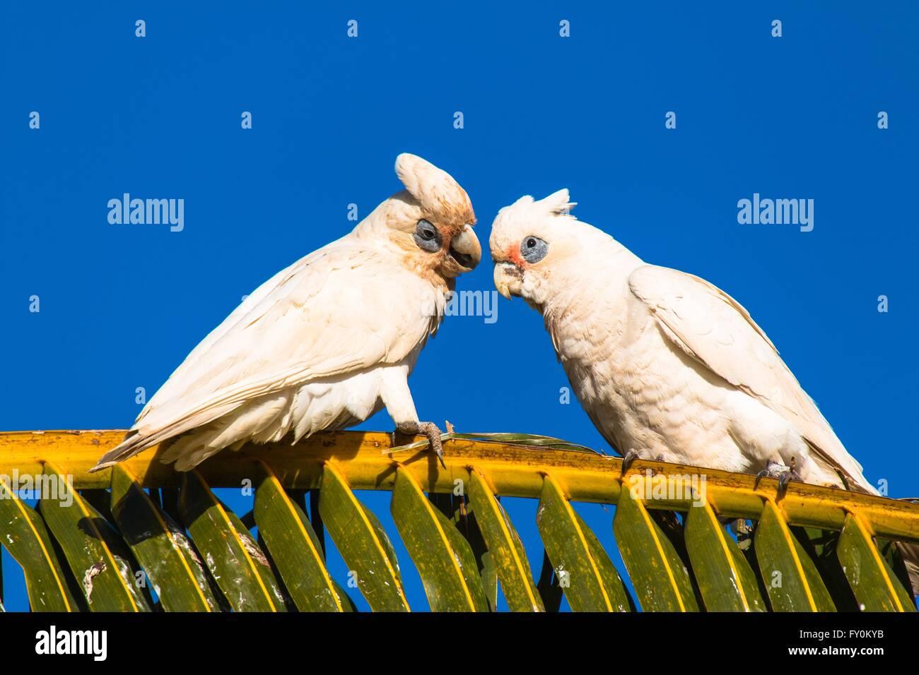 bare-eyed cockatoos Stock Photo