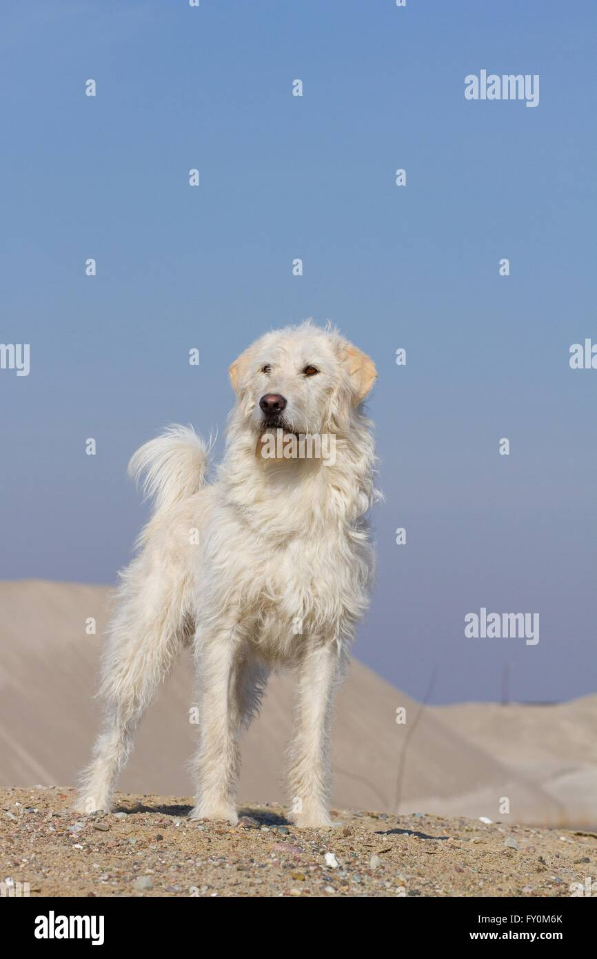 standing mongrel - Stock Image