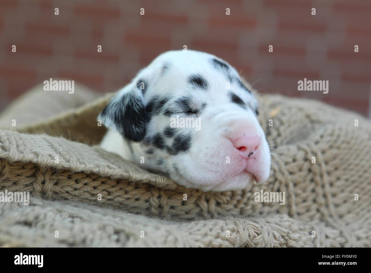 Great Dane Puppy - Stock Image