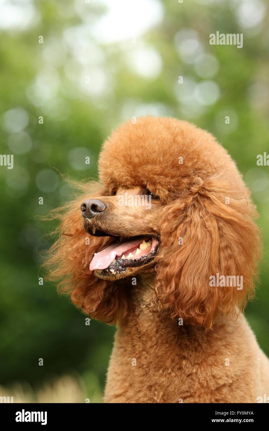 Giant Poodle Portrait - Stock Image