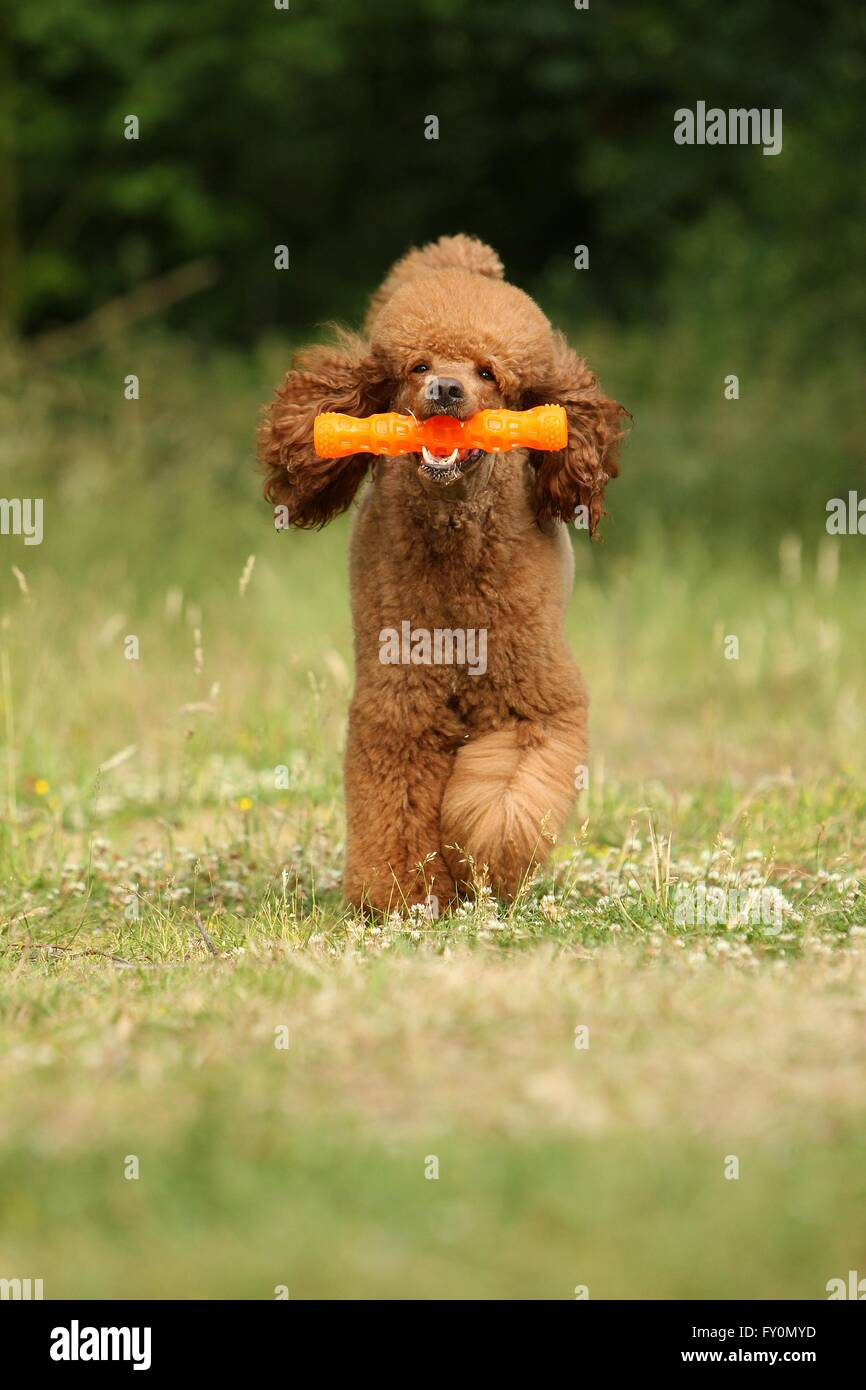 playing Giant Poodle Stock Photo