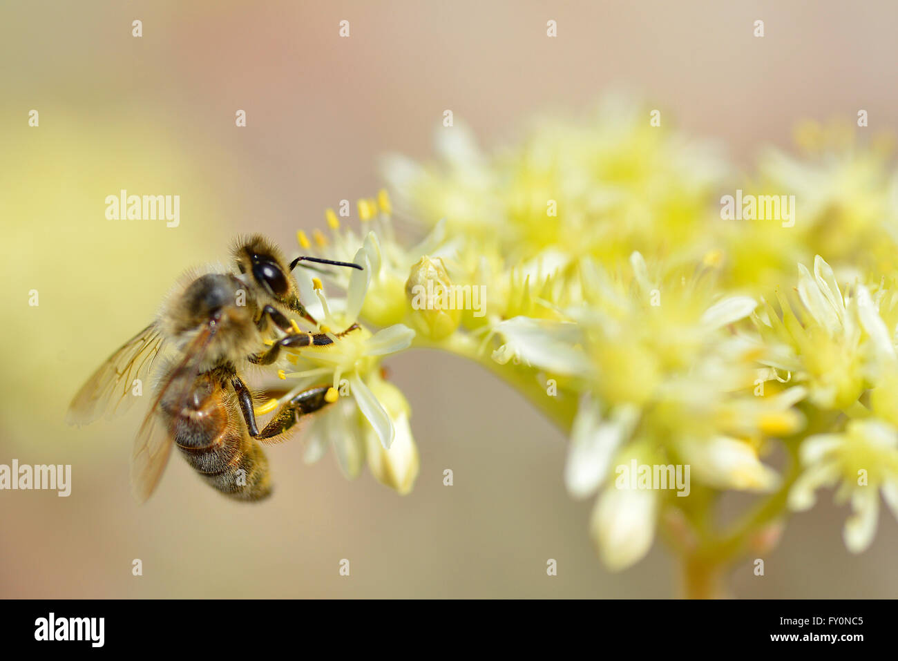 Macro of honey bee (Apis) feeding on yellow flower seen from profile - Stock Image