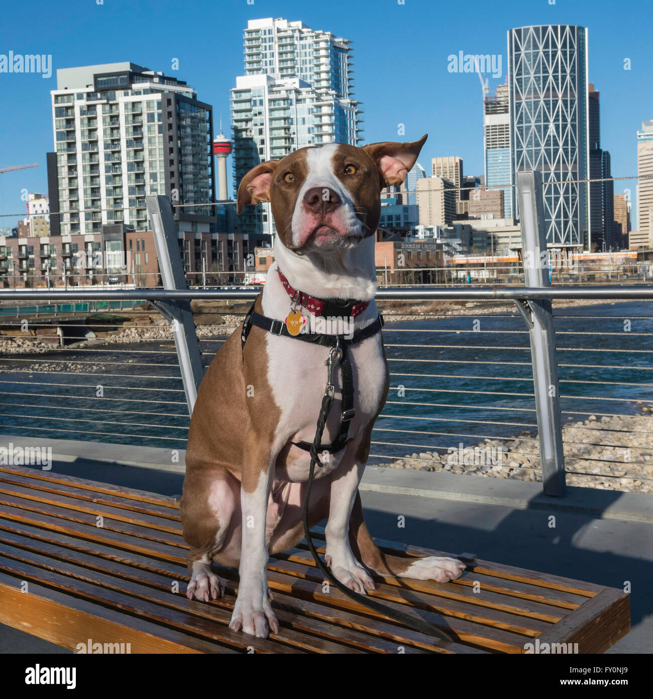 Pit bull dog, crossbreed, portrait, mixed breed, East Village, Calgary, Alberta, Canada - Stock Image