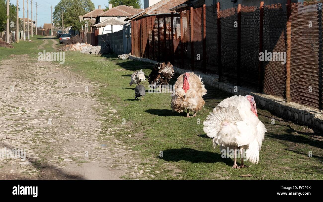 file stock picture of livestock in the village of Kotlentsi near Dobrich in Bulgaria europe cows horses turkeys - Stock Image