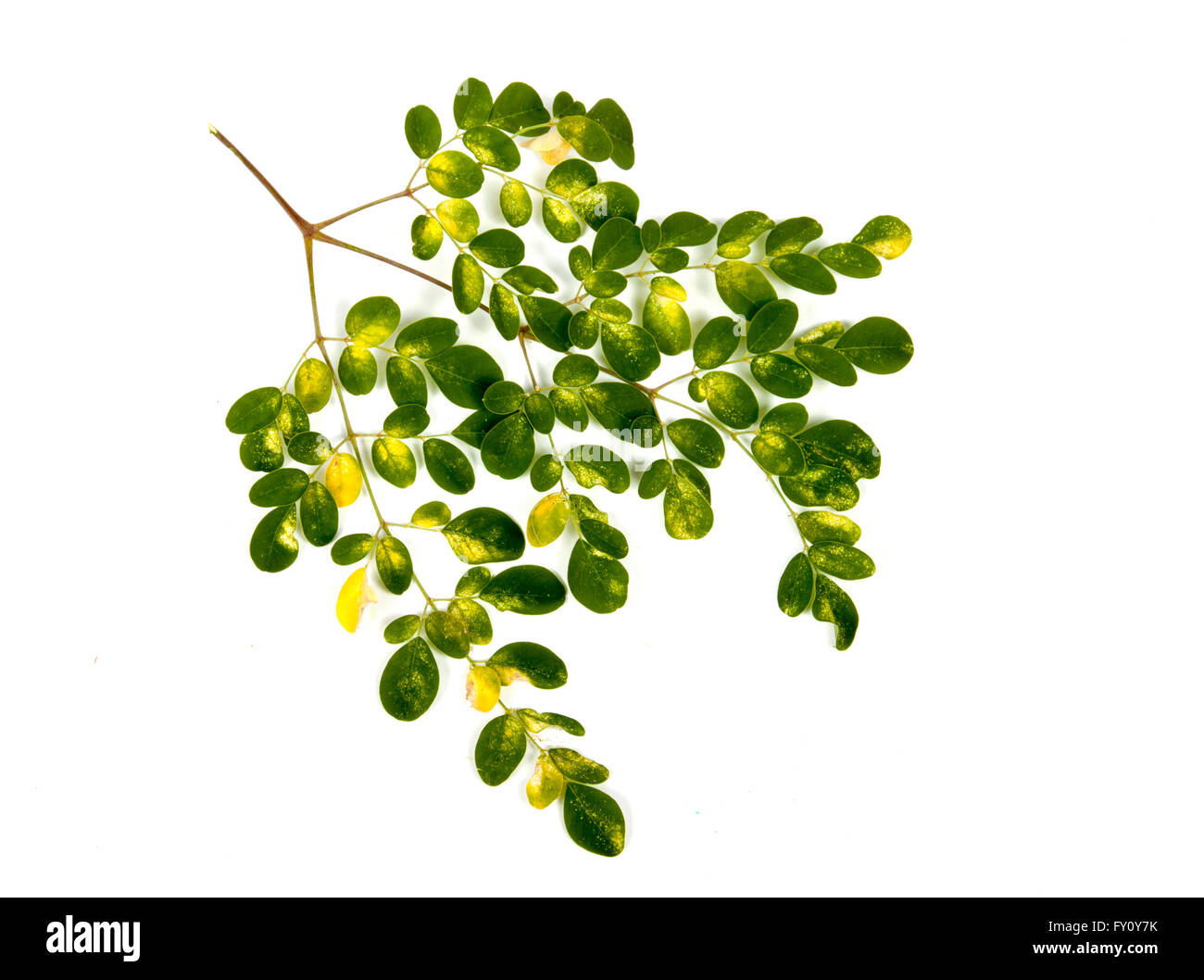 Studio shot branch of young Olive trees green and yellow patterned leaves on white Stock Photo
