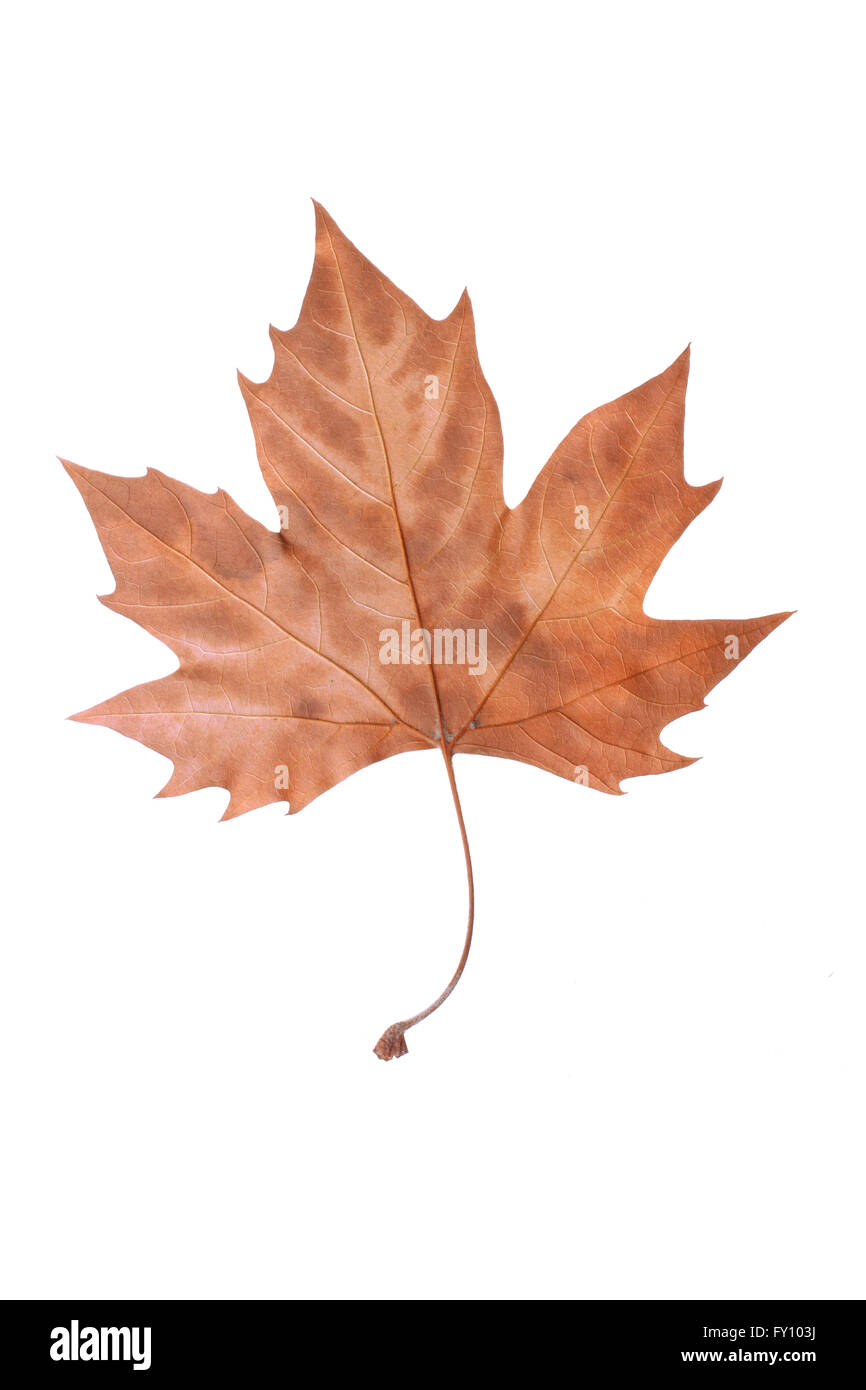 Dry brown Maple leaf symbolizing autumn, fall or winter isolated on white background. - Stock Image