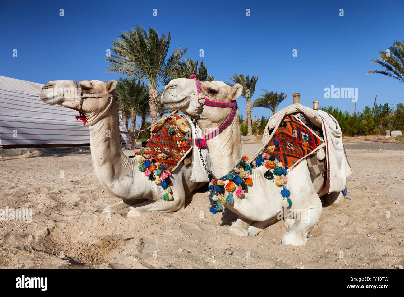 two colorful camels in egypt - Stock Image