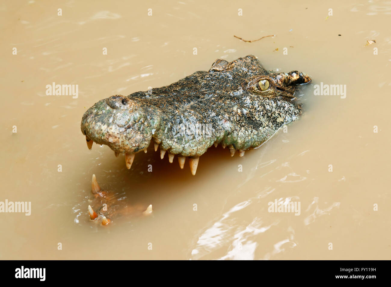Crocodile head in the water - Stock Image