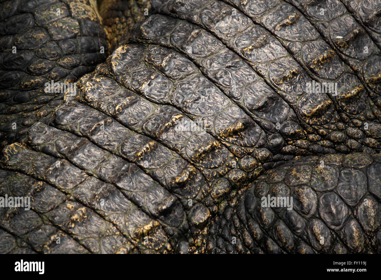 Crocodile skin detail Stock Photo