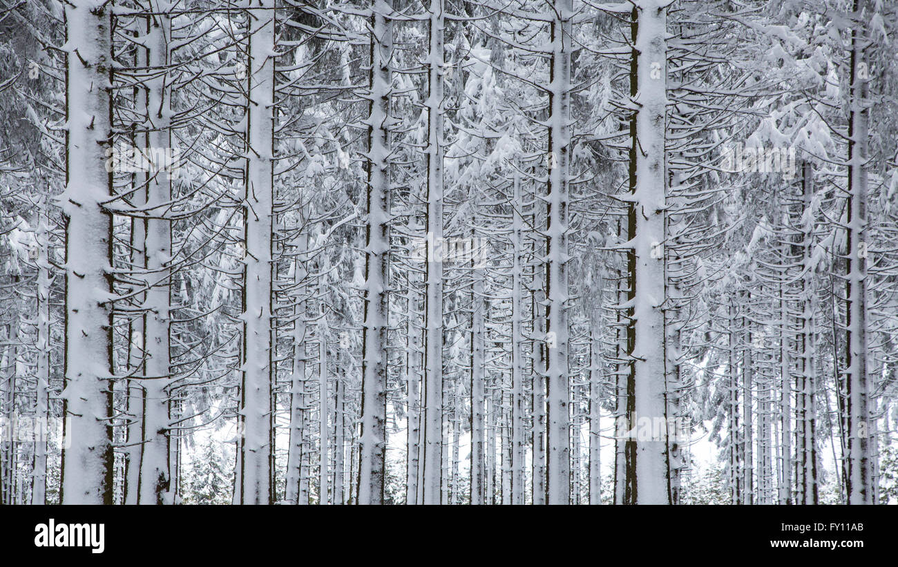 Pine tree trunks in coniferous forest covered in snow in winter at the High Fens / Hautes Fagnes, Belgian Ardennes, - Stock Image
