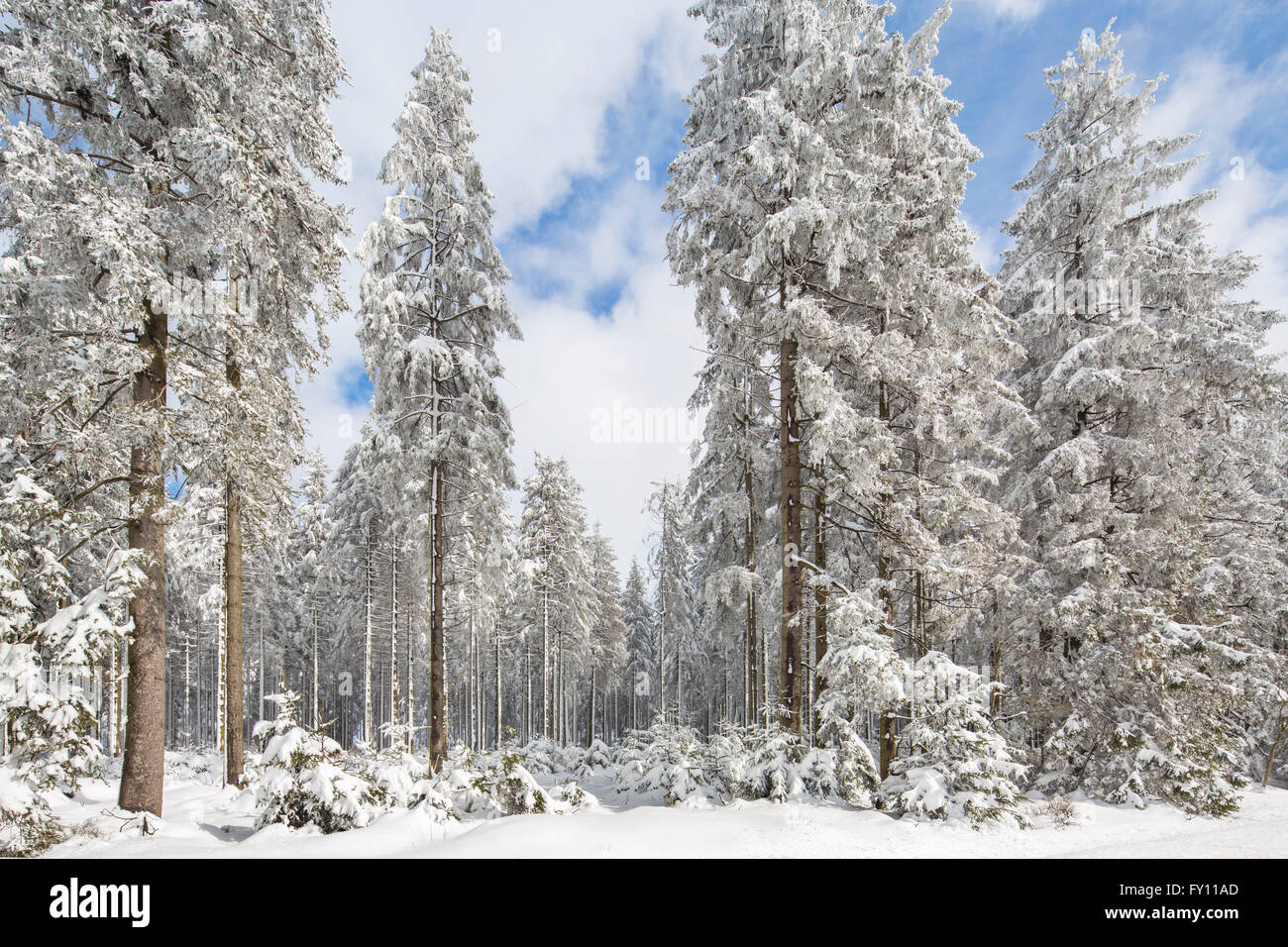 Pine trees in coniferous forest covered in snow in winter - Images of pine trees in snow ...
