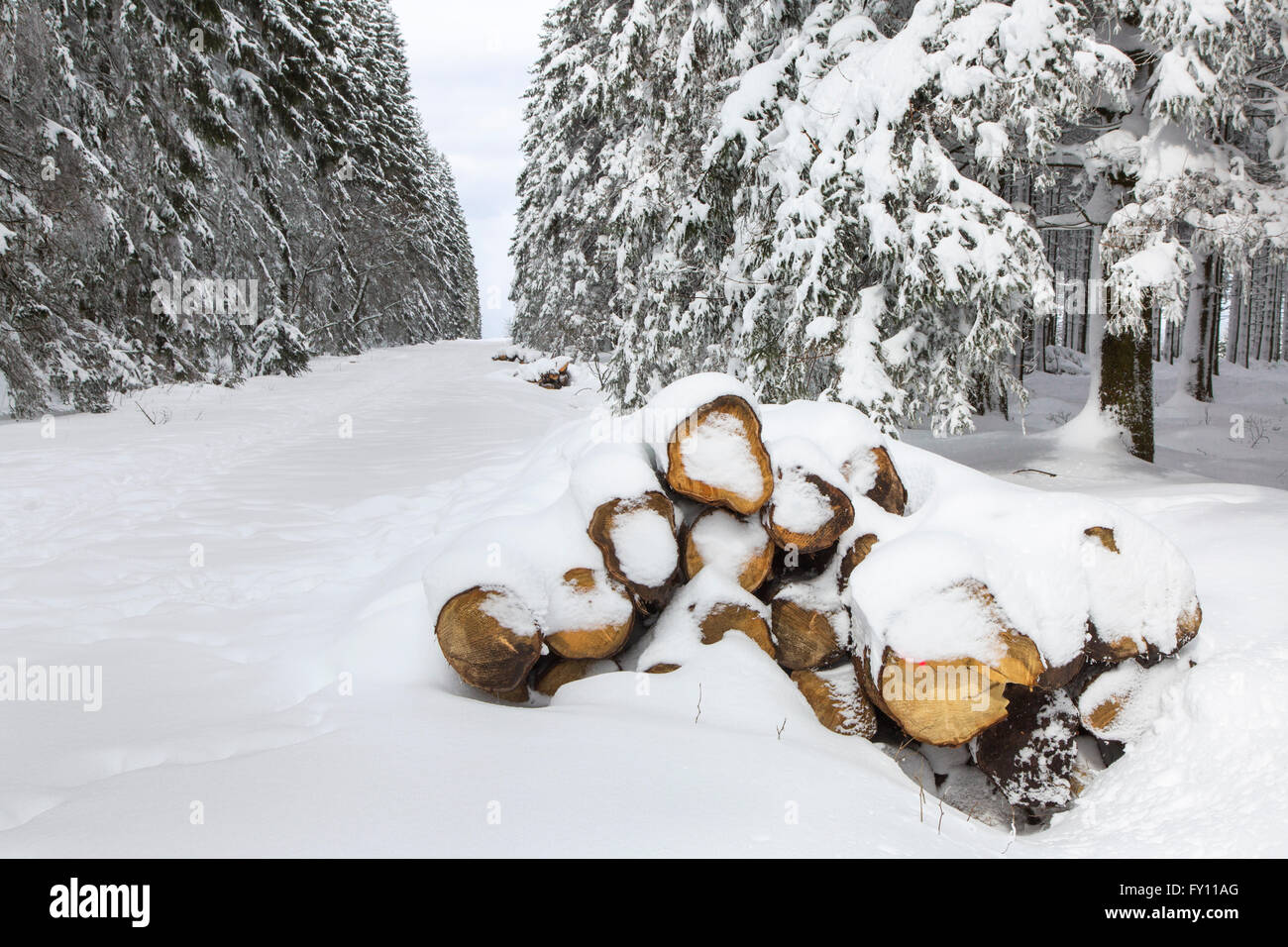 Piles of cut logs in firebreak covered in snow in winter at the High Fens / Hautes Fagnes, Belgian Ardennes, Belgium - Stock Image