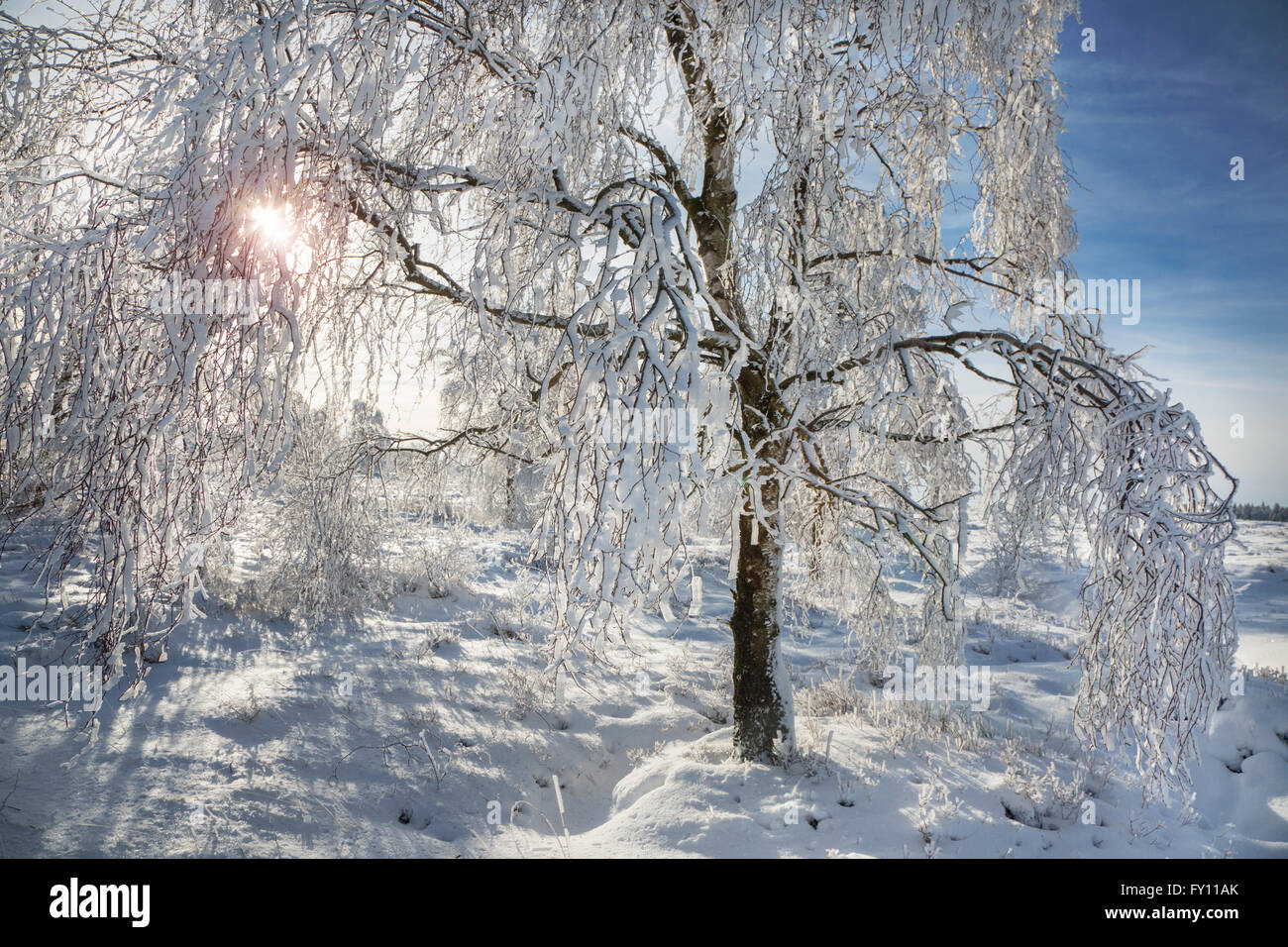 Downy birch (Betula pubescens) tree covered in frost in winter at the High Fens / Hautes Fagnes, Belgian Ardennes, - Stock Image