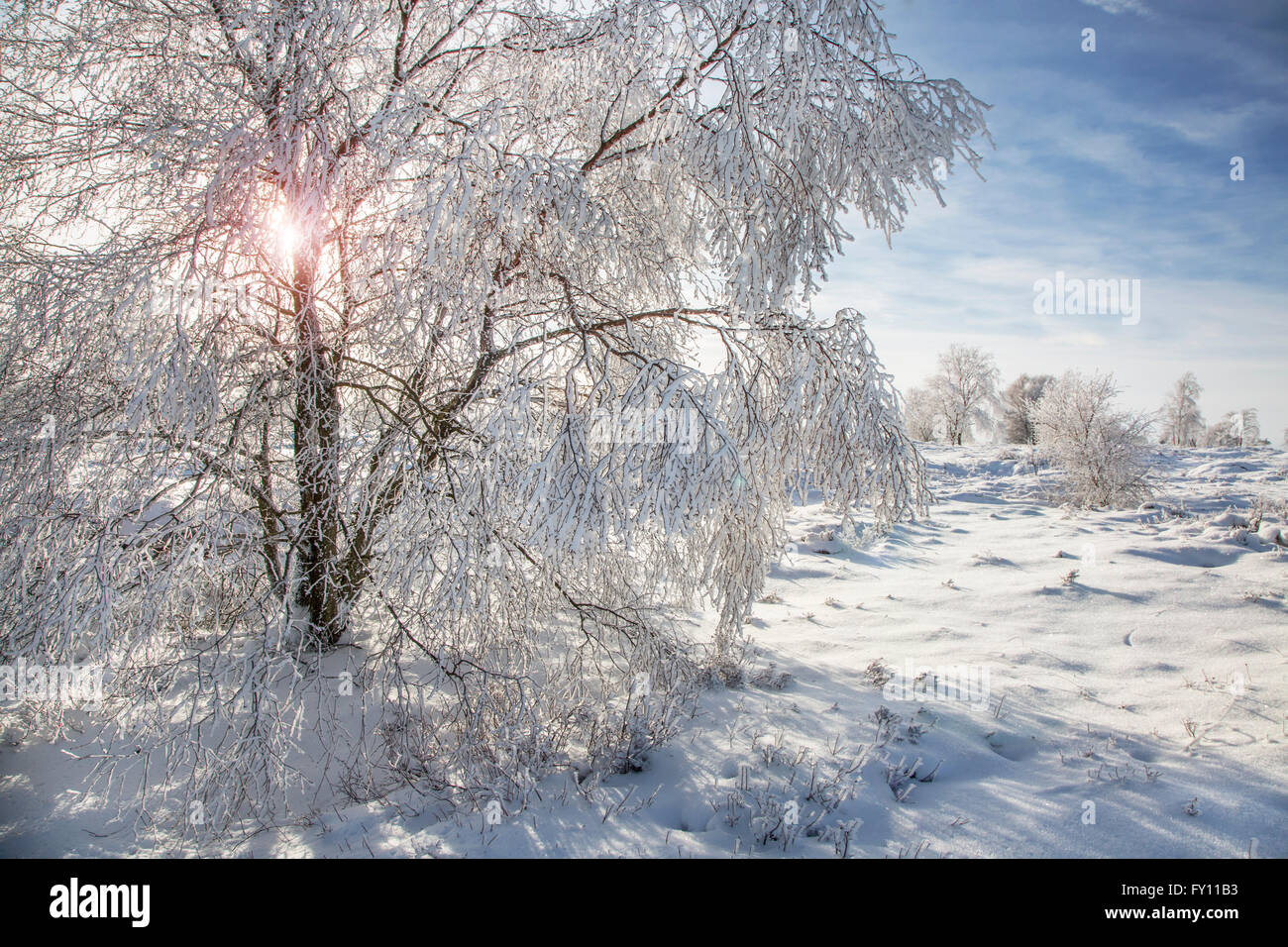 Downy birch (Betula pubescens) trees covered in frost in winter at the High Fens / Hautes Fagnes, Belgian Ardennes, - Stock Image