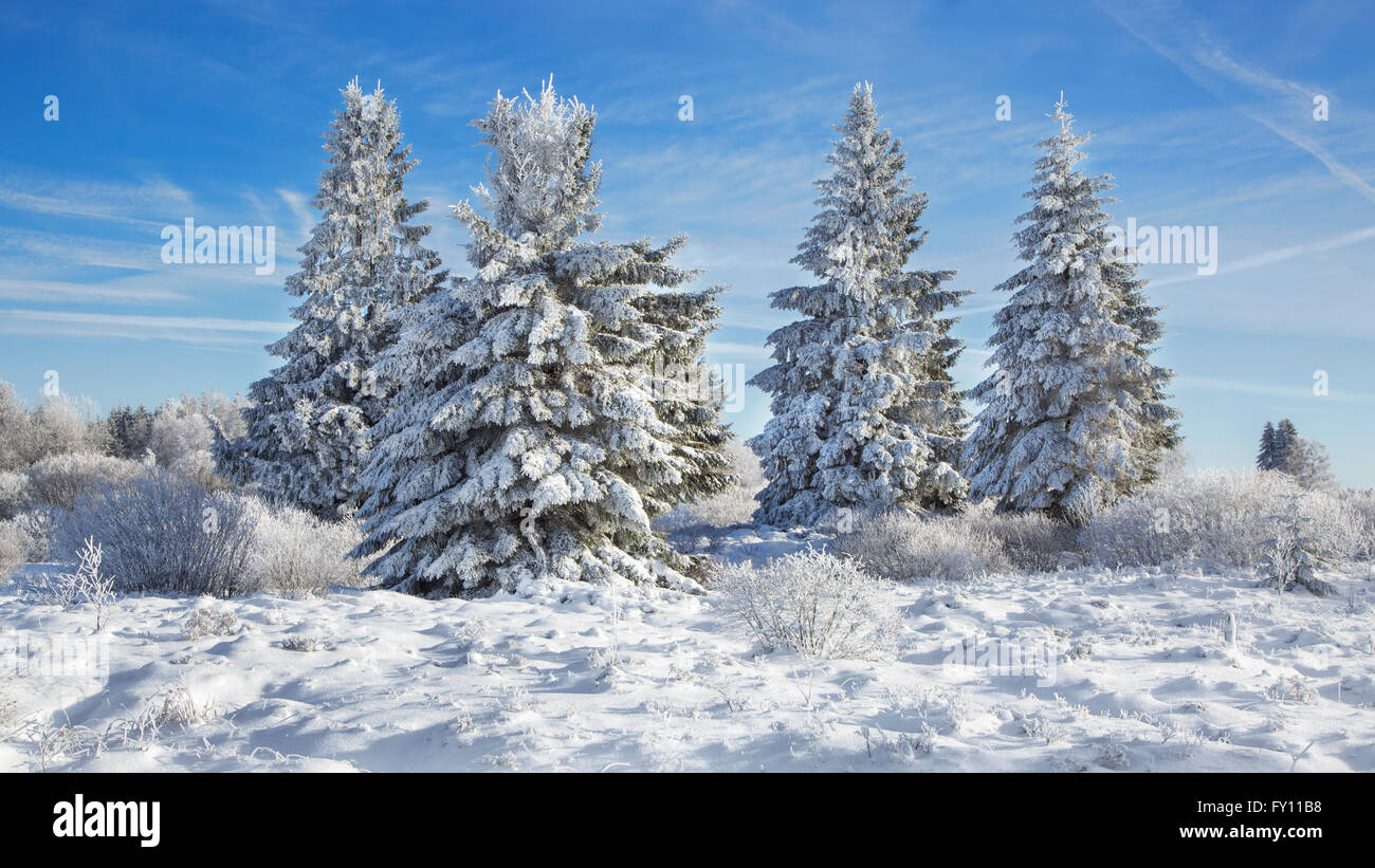 Norway spruces (Picea abies) covered in white frost in moorland in winter, High Fens / Hautes Fagnes, Belgian Ardennes, - Stock Image