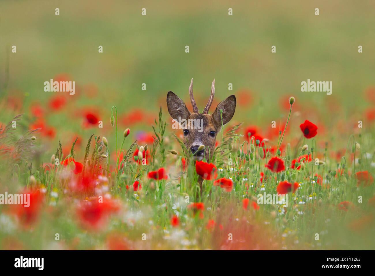 Roe deer (Capreolus capreolus) roebuck foraging in meadow with poppies in flower in spring / summer - Stock Image