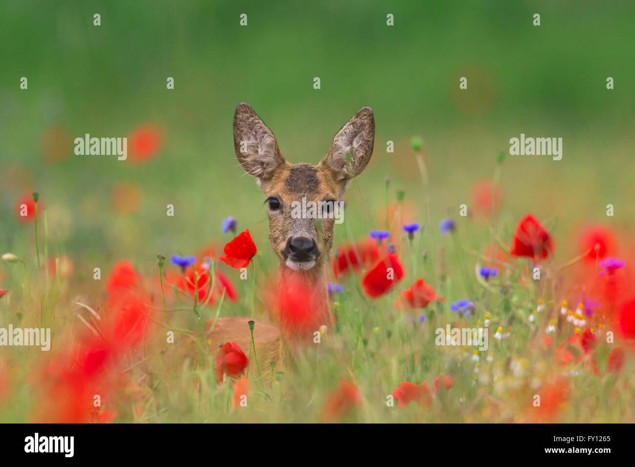 Roe deer (Capreolus capreolus) doe foraging in meadow with red poppies in flower in spring / summer - Stock Image