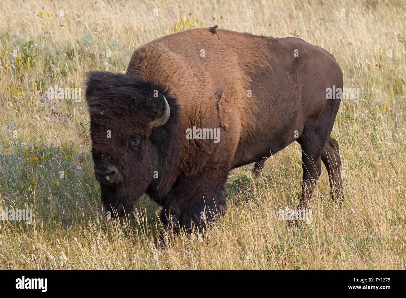 American bison / American buffalo (Bison bison) bull in summer, Waterton Lakes National Park, Alberta, Canada - Stock Image