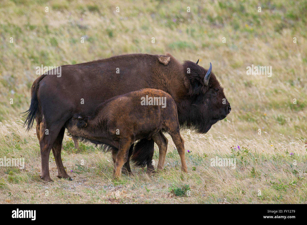 American bison / American buffalo (Bison bison) cow suckling calf in summer, Waterton Lakes National Park, Alberta, - Stock Image