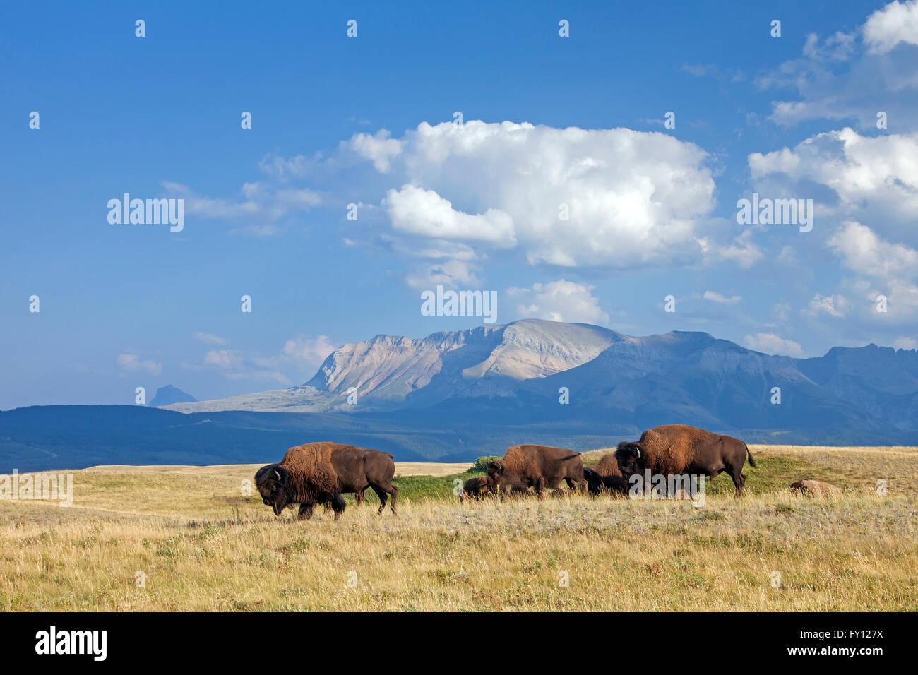 American bison / American buffalo (Bison bison) herd in summer, Waterton Lakes National Park, Alberta, Canada - Stock Image