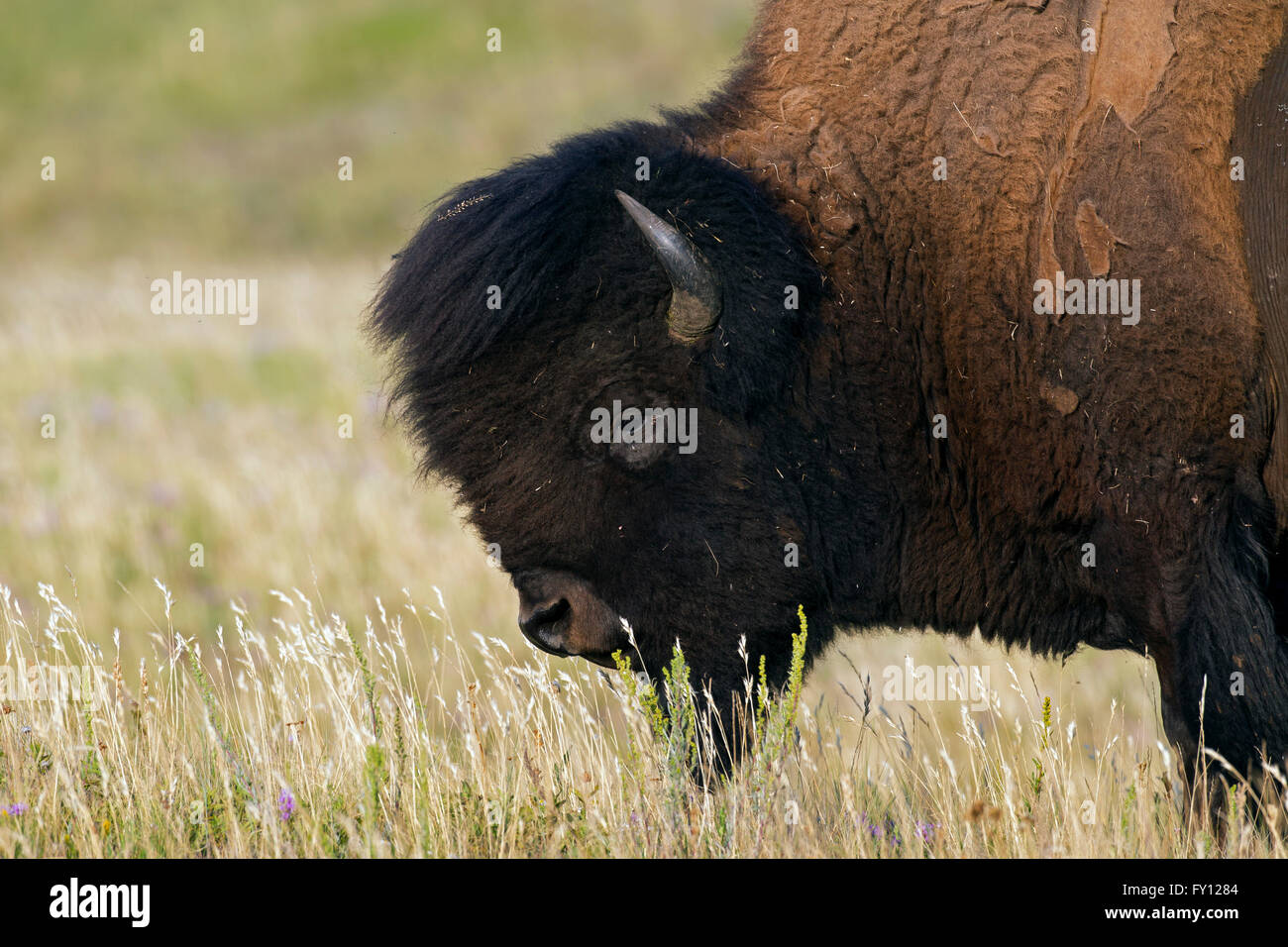 American bison / American buffalo (Bison bison) close up portrait of bull in summer coat Stock Photo