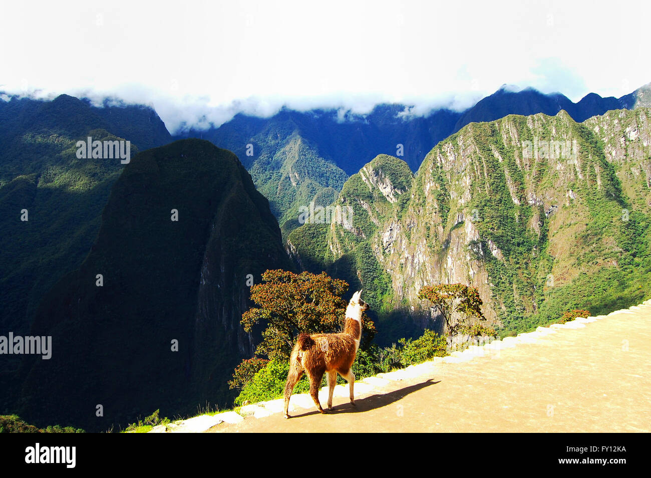 Machu Picchu Llama - Peru - Stock Image
