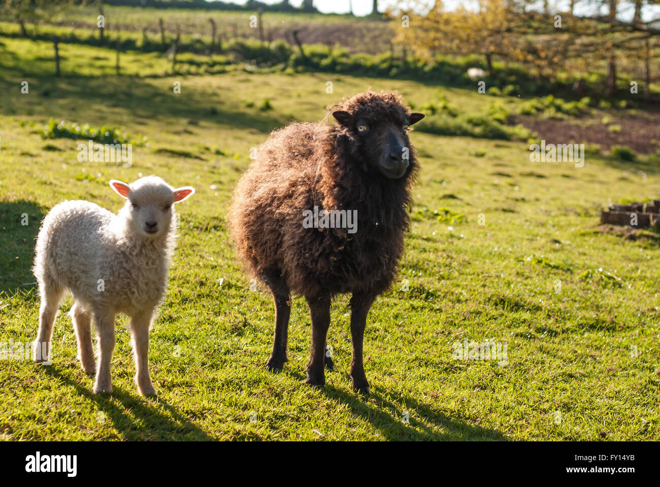 Black ewe and his white lamb of sheep of Oussant - Stock Image