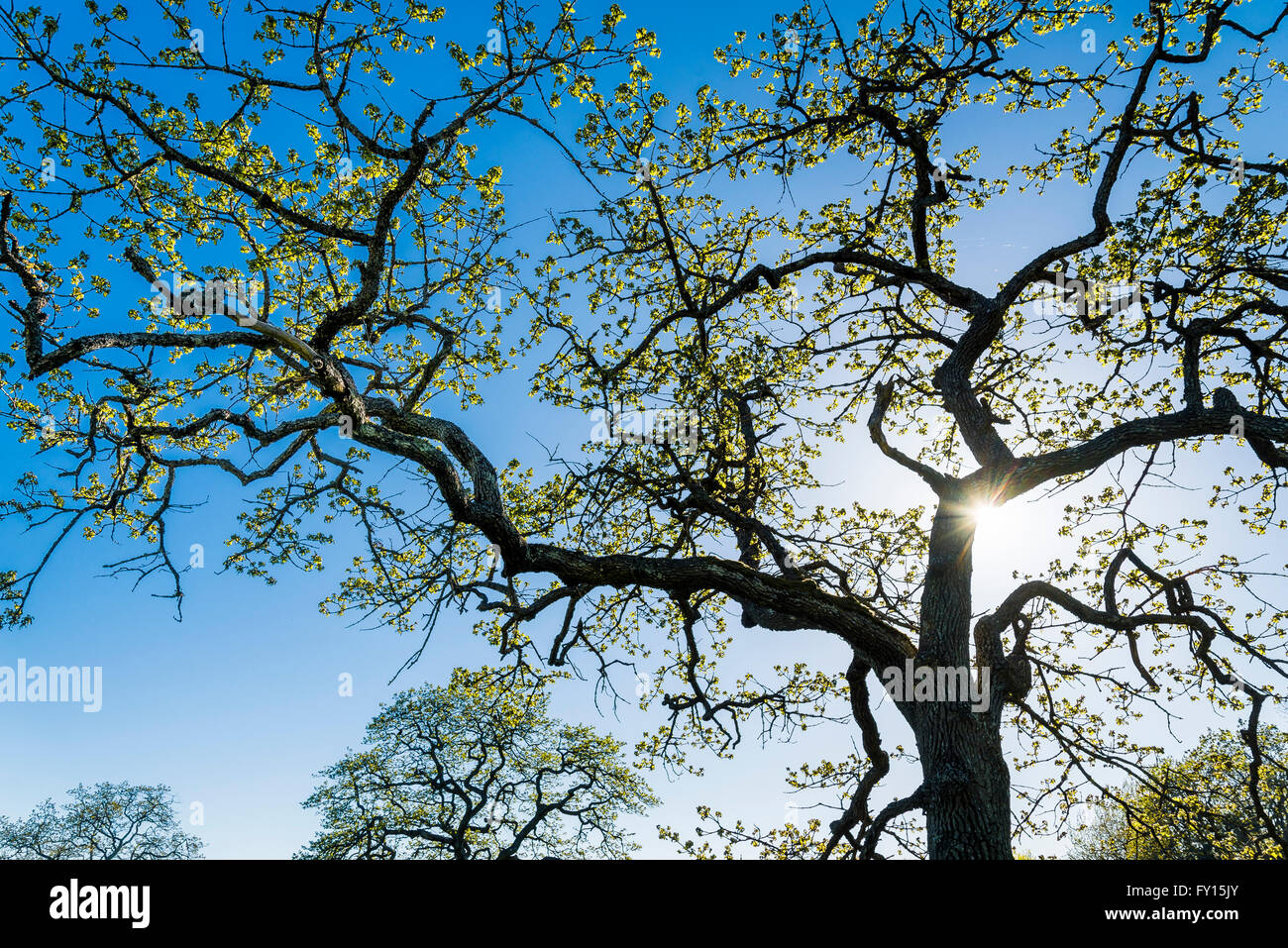 Garry oak tree. Quercus garryana - Stock Image