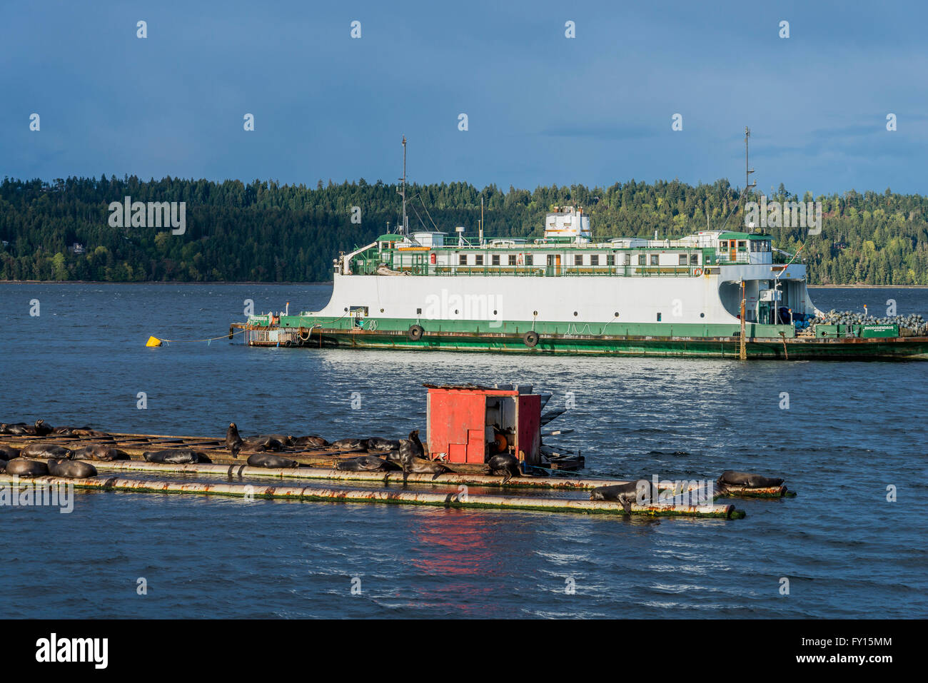 California sea lions and the former Washington State ferry MV Rhododendron, Fanny Bay, British Columbia, Canada - Stock Image