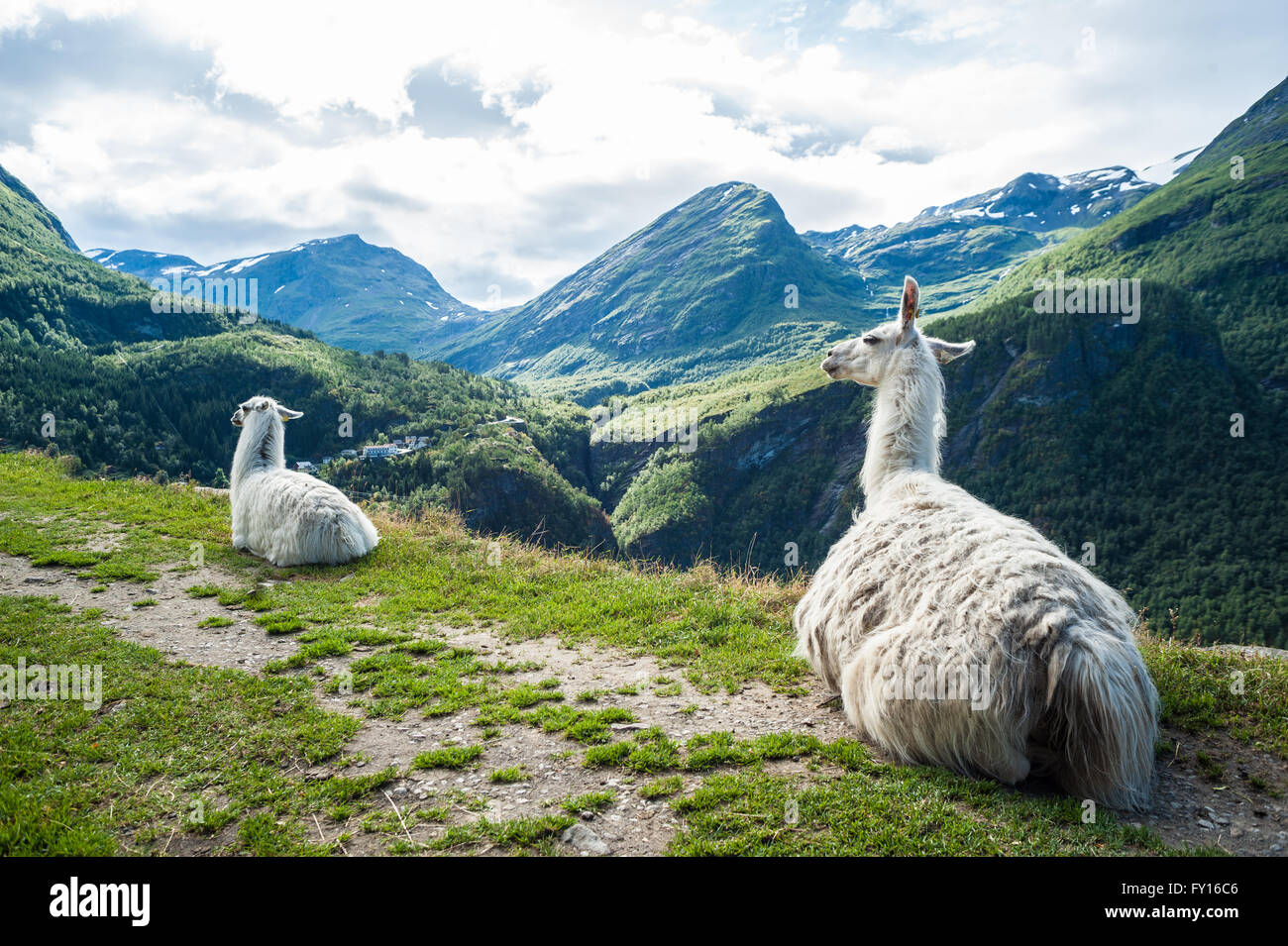 Two white llamas sitting down on a small path with beautiful mountain landscape in the background - Stock Image
