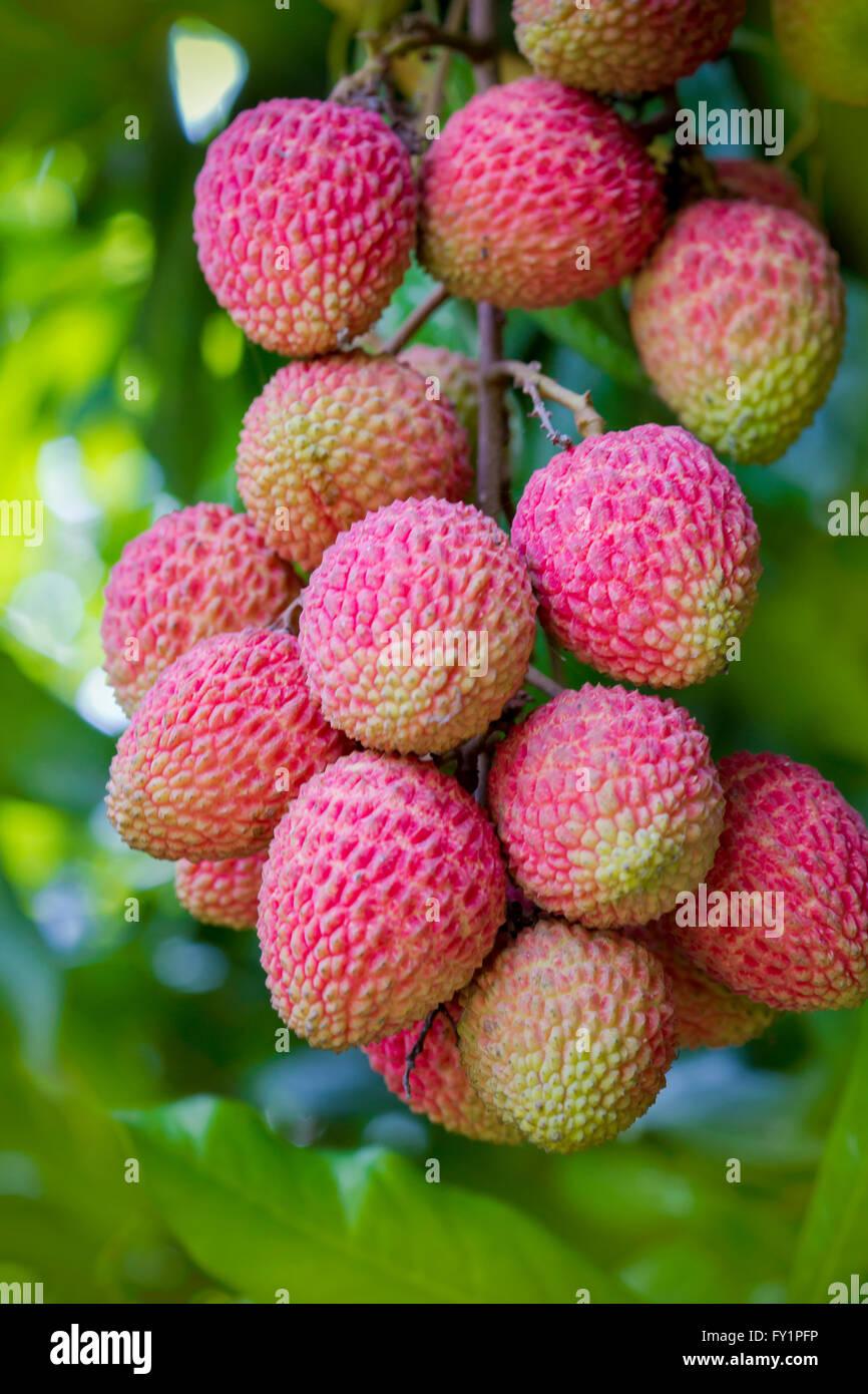 Lychee fruits, locally called Lichu. © Jahangir Alam Onuchcha/Alamy Stock photo - Stock Image