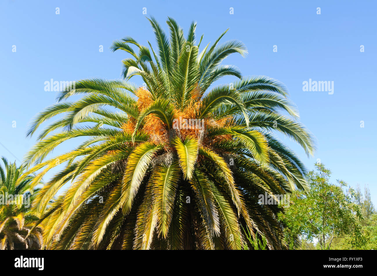 Canary date palm in Brisbane