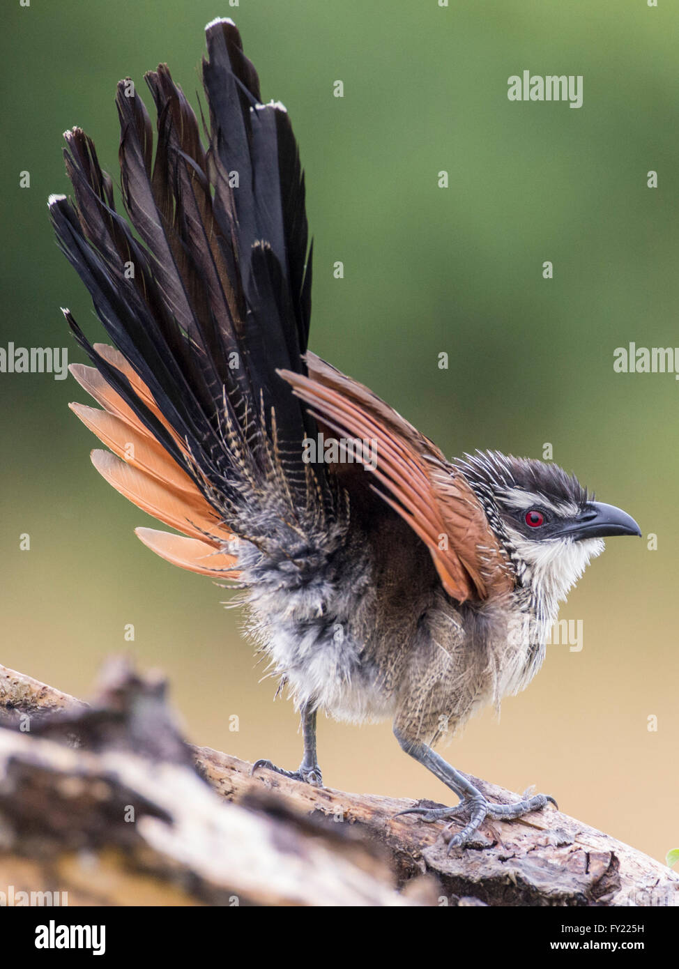 White-browed Coucal (Centropus superciliosus), Queen Elizabeth National Park, Uganda - Stock Image