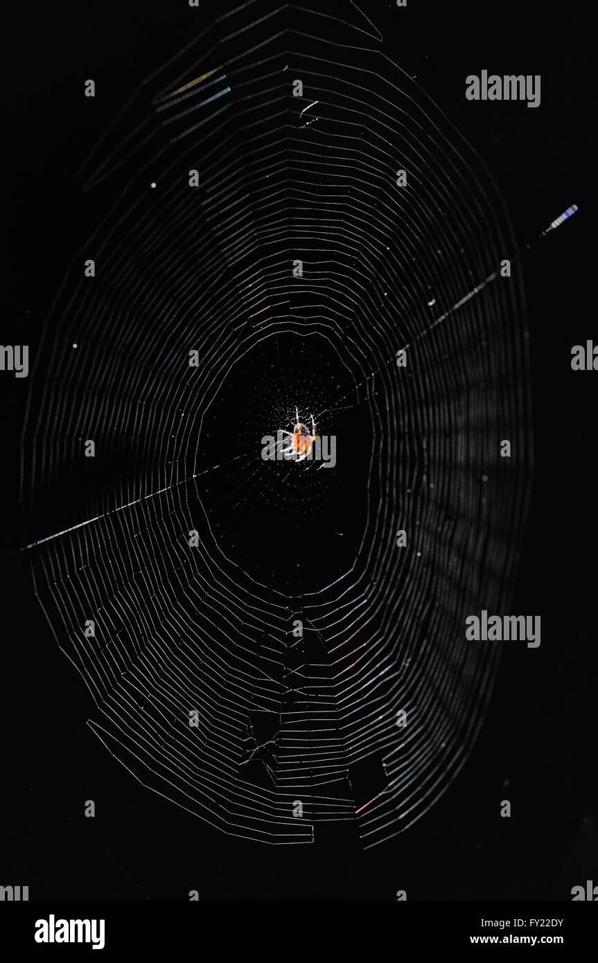 Spider web, orb-weaving spider (Araneus sp.), backlight, North Rhine-Westphalia, Germany - Stock Image