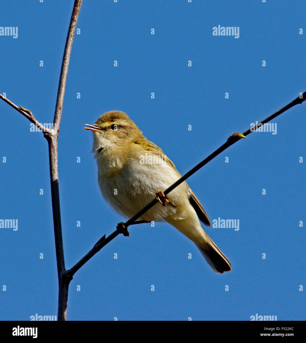 Willow Warbler (phylloscopus trochilus) perched in tree Stock Photo