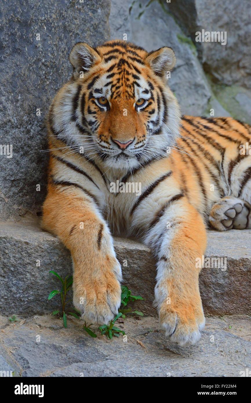 Young Siberian tiger (Panthera tigris altaica) resting on rock, captive - Stock Image