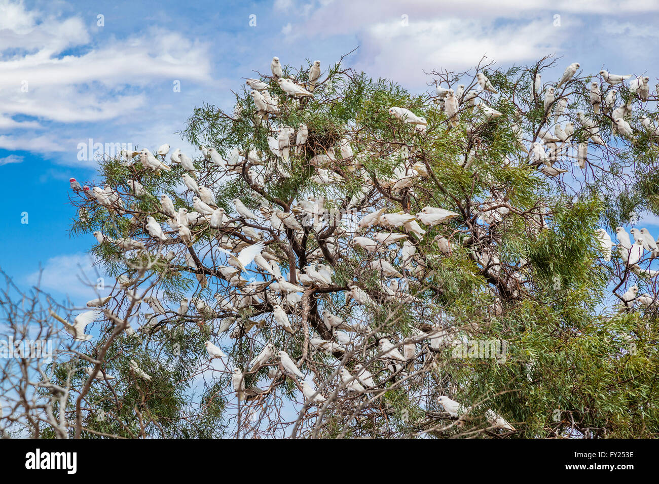 large flock of Corellas (Licmetis) populate a tree at the Halligan Bay Track, Lake Eyre, South Australia - Stock Image