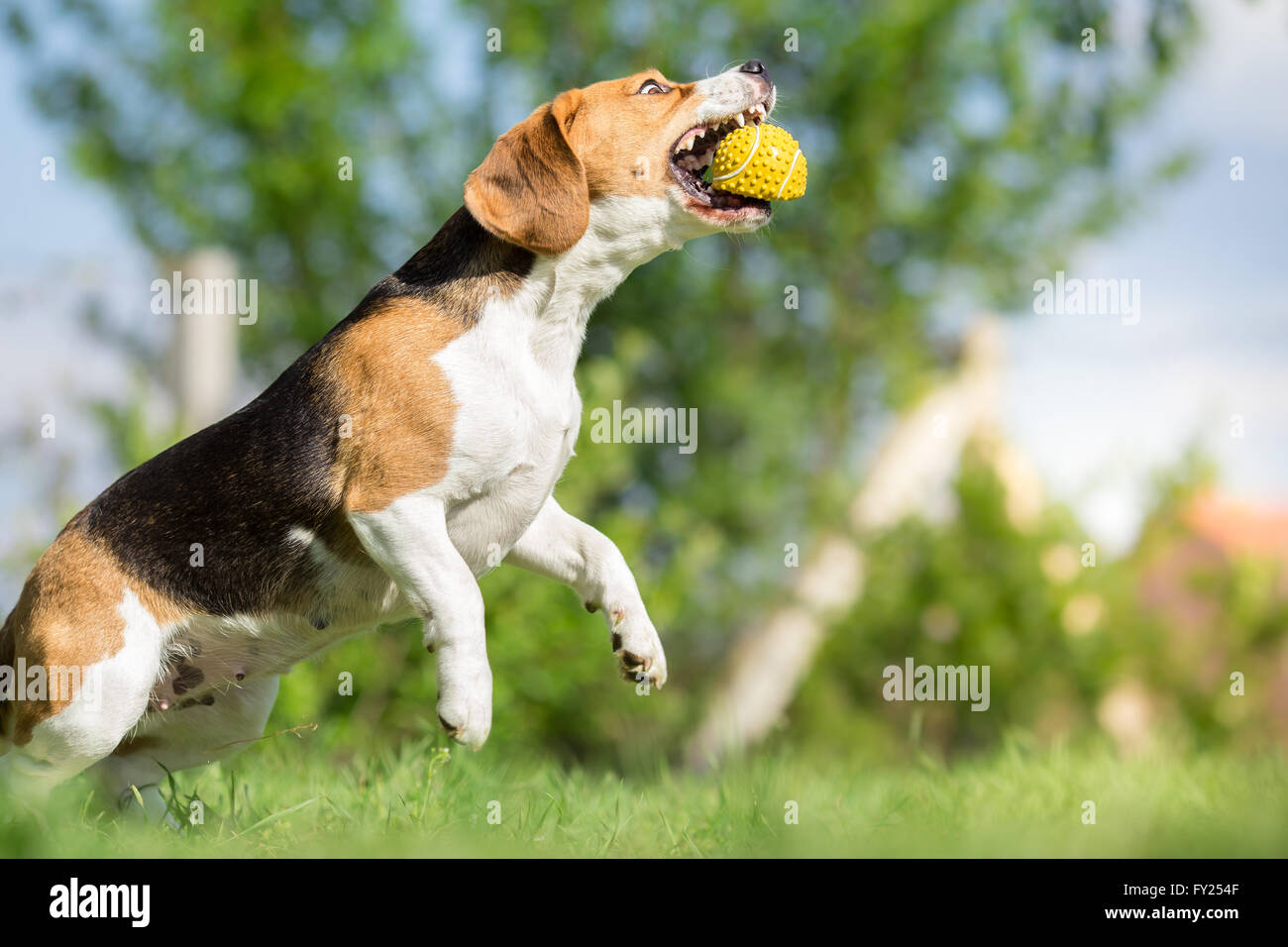 Beagle dog catching a ball - Stock Image