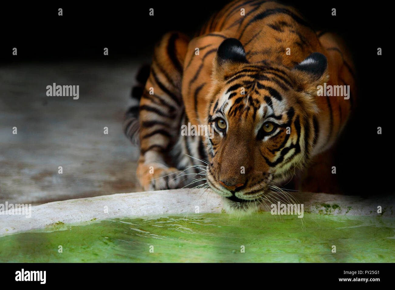 Royal Bengal Tiger having a drink on hot summer afternoon - Stock Image