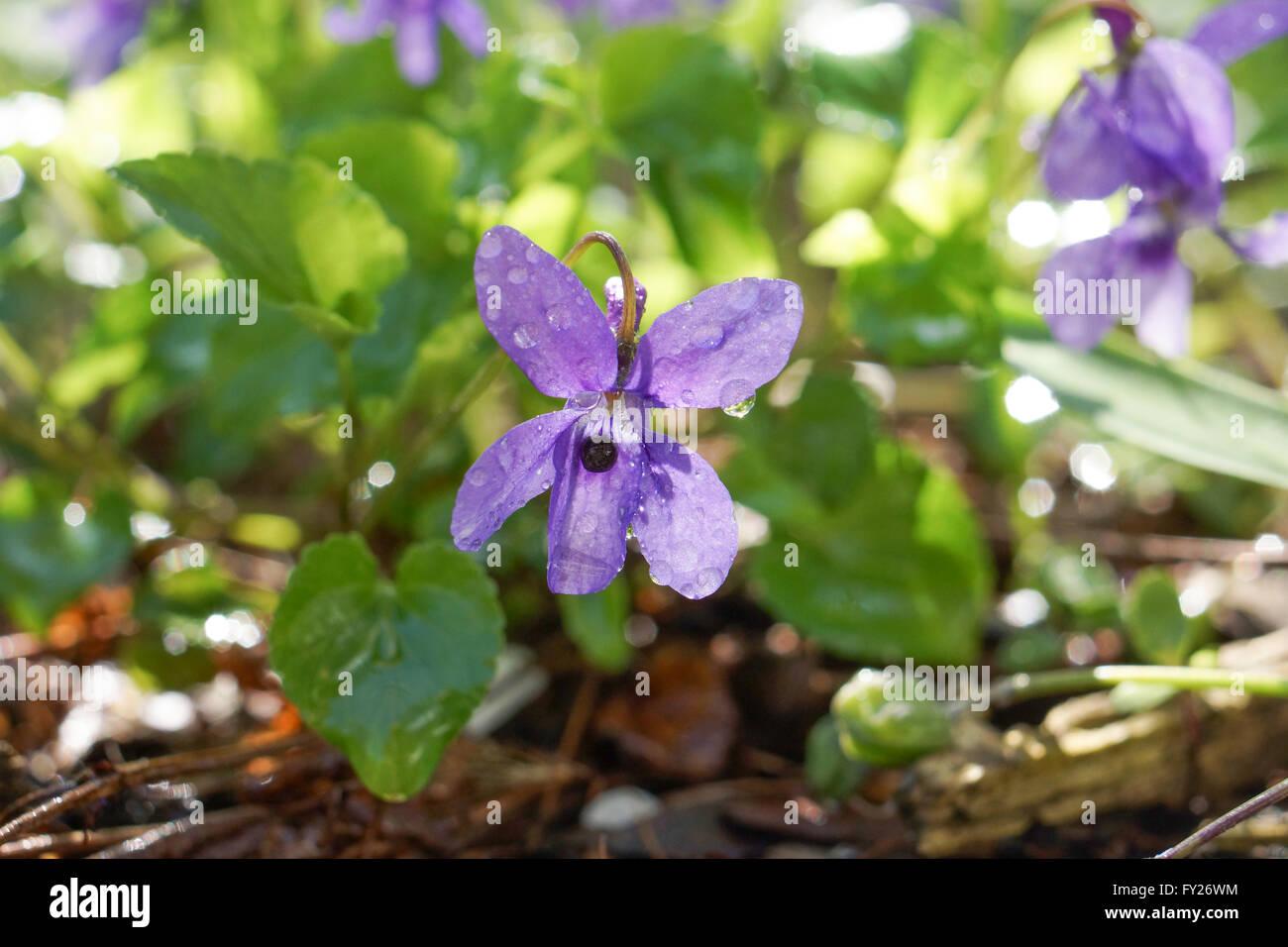 Viola (plant) - Stock Image