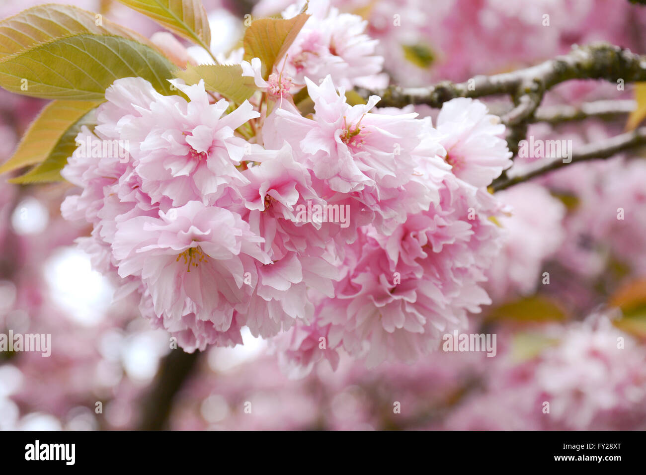 Fluffy Pink Cherry Blossom Flowers On Branches On The Tree In