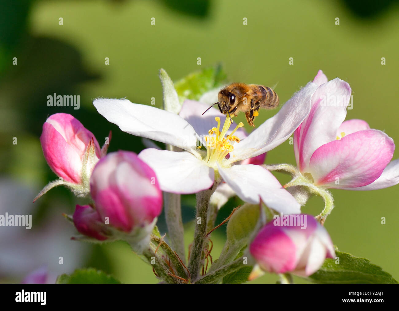 Busy bee hovers over an apple blossom - Stock Image
