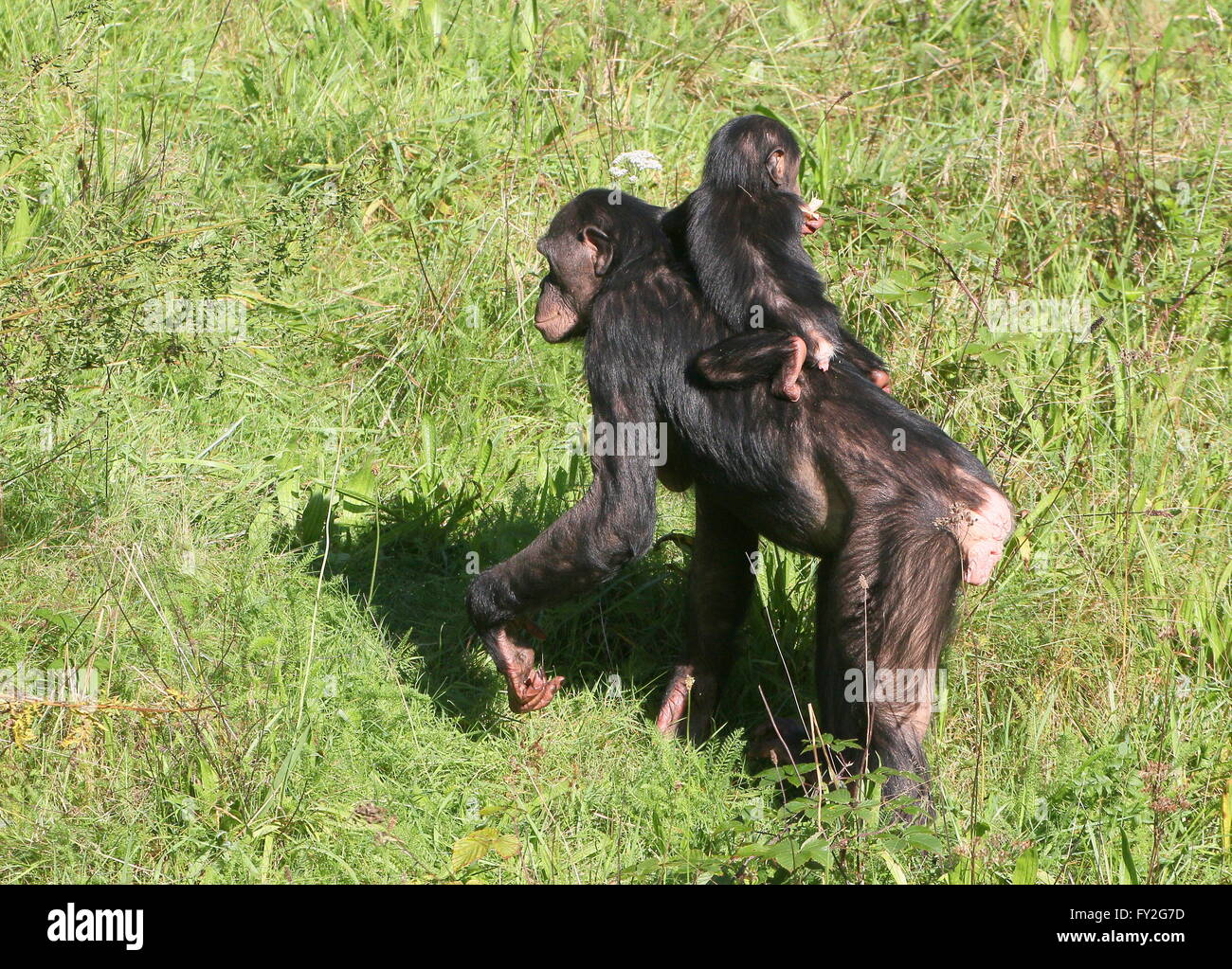 Mother African Bonobo Chimpanzees (Pan Paniscus) walking with her baby youngster on her back - Stock Image