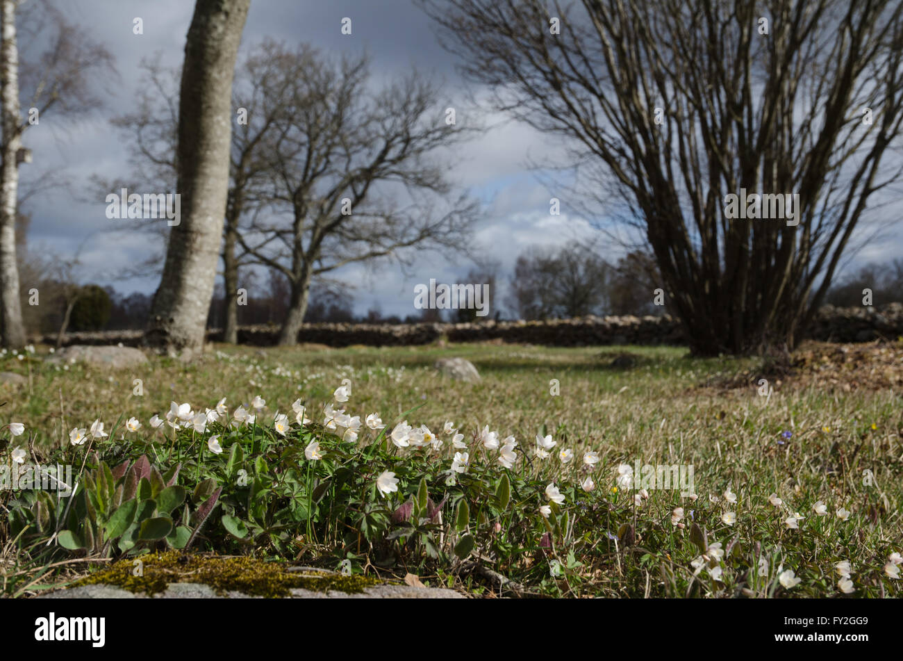 Springtime view with a low angle image of blossom windflowers in a sunny swedish pastureland - Stock Image