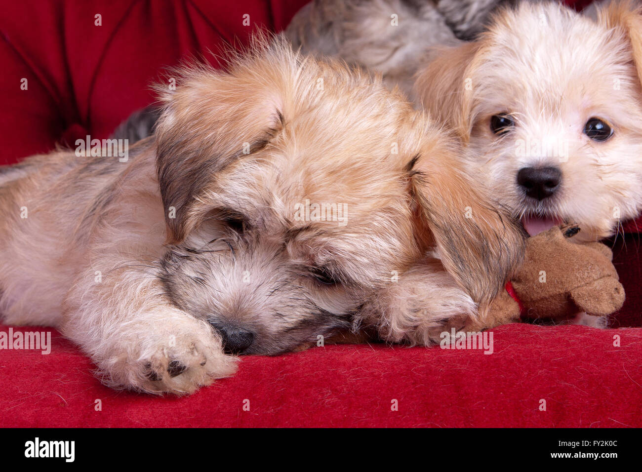 Mixed Breed Yorkshire Terrier Puppies Stock Photo 102706364 Alamy