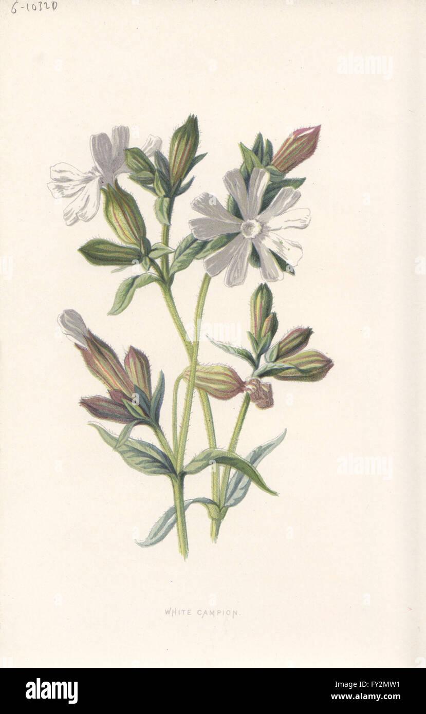 FLOWERS: White Campion, antique print c1895 - Stock Image