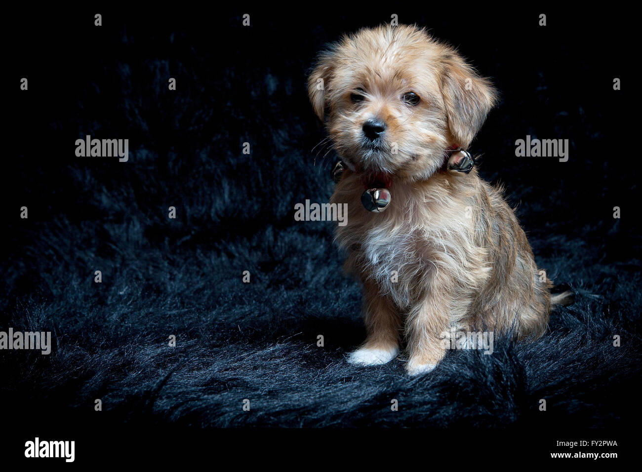 Yorkshire Terrier and Maltese Mixed Breed Puppy - Stock Image
