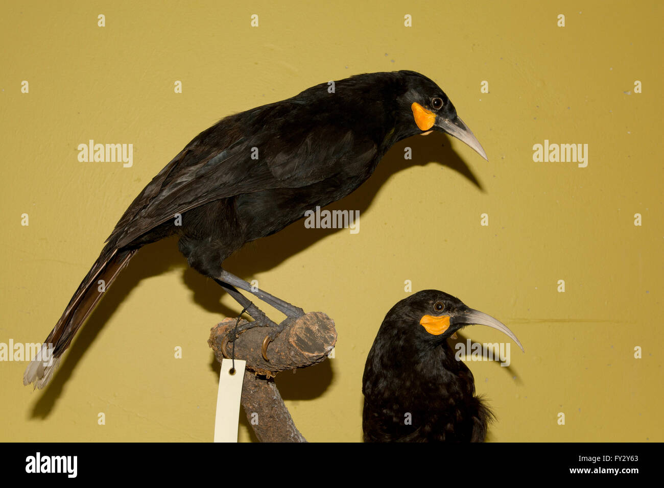 These huias in the basement archives of Te Papa National Museum in Wellington in New Zealand went extinct in the - Stock Image